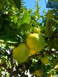 Close up green yellow lemons on tree 4k. Yellow green lemons close up in garden 4k Stock Photo