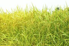 Close up green and yellow rice field. Rice is found in much of Asia. Rice is the cereal that the world consumes as a food. Especially in Asia Stock Photos