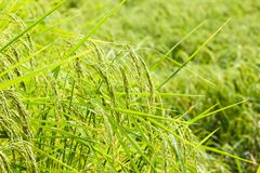 Close up green and yellow rice field. Rice is found in much of Asia. Stock Images