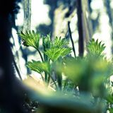 Close up of green young nettle growing in the forest. Selective focus stock photos