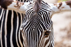 Close-up of Grevy's Zebra Stock Photography