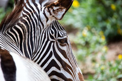 Close-up of Grevy's Zebra Stock Image
