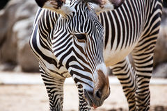 Close-up of Grevy's Zebra Stock Photo