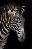 Close-up of Grevy zebra with drooping head Stock Image