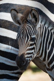 Close-up of Grevy zebra foal by mother Royalty Free Stock Images
