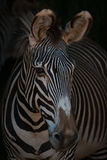 Close-up of Grevy zebra head looking out Royalty Free Stock Photos