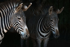 Close-up of Grevy zebra mother by foal Stock Image