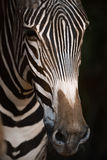 Close-up of Grevy zebra nose in blackness Royalty Free Stock Images