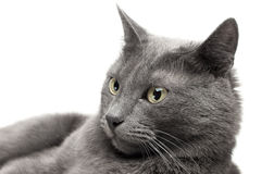 Close-up of a grey cat Stock Photo