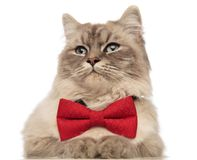 Close up of cat with red bowtie looking to side Stock Photos