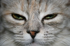 Close-up of a grey cat with green eyes falling asleep Royalty Free Stock Images