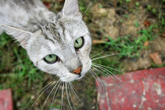 Close up of grey cat looking upwards. A birds eye perspective of a grey cat sitting on grass and looking upwards Stock Images