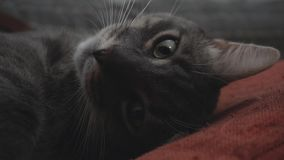Close-up of grey cat lying on its back