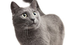 Close-up of a grey cat over white Royalty Free Stock Photography