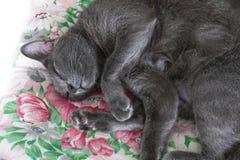 Close-up grey cat sleeping, selective focus. Close-up grey cat sleeping. selective focus Royalty Free Stock Photos