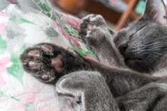Close-up grey cat sleeping, selective focus Royalty Free Stock Images