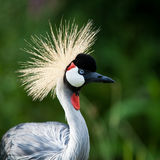 Close-up of a Grey Crowned Crane Royalty Free Stock Photos