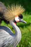 Close-up of a Grey Crowned Crane Stock Images