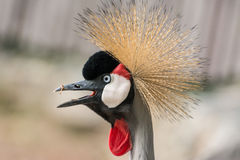 Close-up of Grey Crowned Crane  (Balearica regulorum) opens the Stock Photo