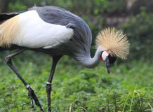 Grey crowned crane Balearica regulorum. Close up of grey crowned crane Stock Photography
