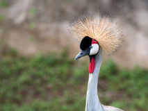 Close up of Grey crowned crane at head shot, Balearica pavonina, Royalty Free Stock Images