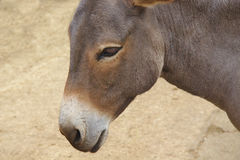 Close up of a grey donkey on nature background Stock Photography