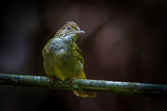 Close up of Grey-eyed Bulbul ( Iole propinqua ) Royalty Free Stock Image