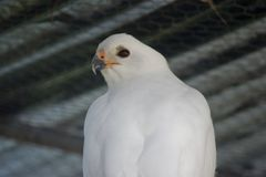 Grey goshawk. This is a close up of a grey goshawk Royalty Free Stock Image