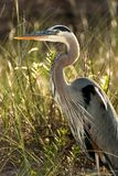 Close up of a Grey Heron royalty free stock images