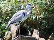Close up of a Grey Heron looking for food Stock Photo