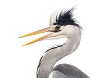 Close-up of a Grey Heron's profile, beak opened Stock Images