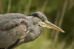 Close-up of grey heron staring into water Royalty Free Stock Photo