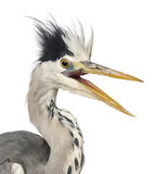 Close-up of a Grey Heron upset, screaming, Ardea Cinerea Royalty Free Stock Photography