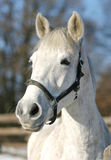 Close-up of a grey  horse in paddock Royalty Free Stock Photo
