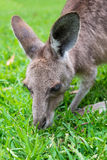 Close up of a grey Kangaroo Royalty Free Stock Image