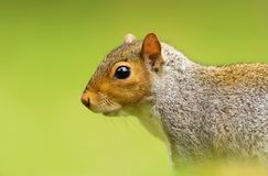 Close-up of a Grey squirrel against green background royalty free stock photos