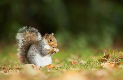 Grey squirrel eating a nut in the meadow stock image
