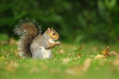 Grey squirrel eating a nut in the meadow stock photos