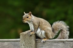 Close up of a grey squirrel sitting on a fence stock image