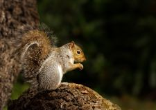 Close up of a grey squirrel sitting on a tree log stock images