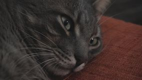 Close-up of the falling asleep gray cat