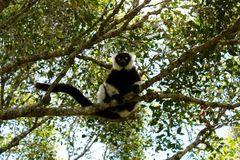 Ruffed Lemur. Close up of a grey white and black ruffed lemur monkey sitting in a tree with big eyes Stock Photo