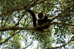 Ruffed Lemur. Close up of a grey white and black ruffed lemur monkey sitting in a tree with big eyes Royalty Free Stock Photo