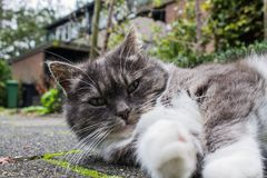 Close up of Grey and white cat laying on the pavement. stock image