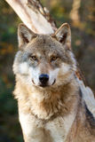 Close-up of Grey Wolf - Canis Lupus. Encounter of grey wolf in forest Royalty Free Stock Image