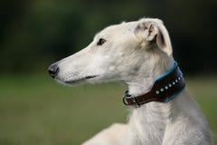 Close-up of a greyhound. Lateral close-up of a noble galgo espanol greyhound with adorned collar Stock Photos