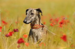 Close-up greyhound among flowers Stock Image