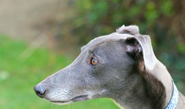 Close up of greyhounds head, side view. Royalty Free Stock Images