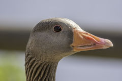 Close up of a greylag goose (Anser anser). Showing the head neck and bill detail Stock Photography