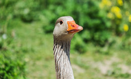 Close up of a greylag goose Stock Photo